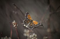 A Vanishing Species: Portraits of a Butterfly